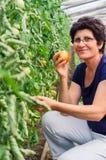 Tomates de cueillette de femme de jardin Photo stock
