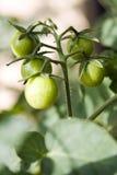 Tomates de Geen sur une vigne Photographie stock