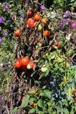 Tomates de jardin Image libre de droits