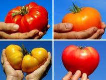 Tomates de la carne de vaca fijados Foto de archivo