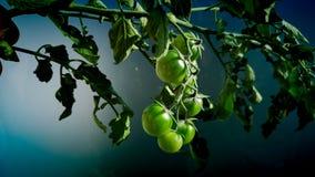 Tomates de la cosecha foto de archivo libre de regalías