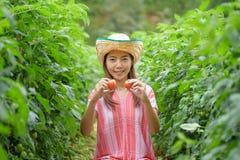 Tomates de la cosecha de la mujer joven en huerto Imágenes de archivo libres de regalías