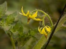 Tomates de la flor Foto de archivo