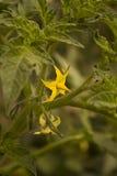 Tomates de la flor Foto de archivo libre de regalías