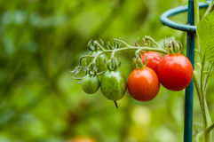 Tomates de la goma o de ciruelo en el jardín Imagenes de archivo