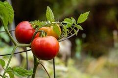 Tomates de la goma o de ciruelo en el jardín Imágenes de archivo libres de regalías