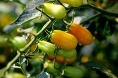 Tomates de la uva en la vid Imágenes de archivo libres de regalías