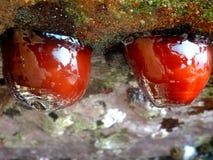 Tomates de mąci Obraz Royalty Free