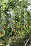 Tomates de maduración en un invernadero Foto de archivo