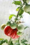 Tomates de maturation   Photos libres de droits
