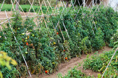 Tomates de maturation Photo stock