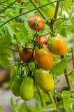 Tomates de pâte ou de prune dans le jardin Photo stock