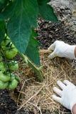 Tomates de paillage organiques Photos libres de droits