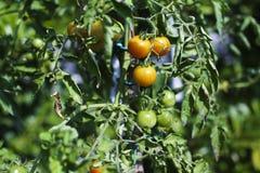 Tomates de prune d'élevage s'élevant sur la vigne dans le jardin Images libres de droits