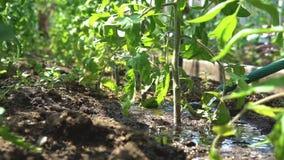 Tomates de riego del jardinero almacen de metraje de vídeo