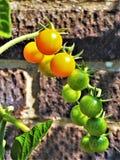Tomates de Sungold mûrissant sur une botte photographie stock libre de droits