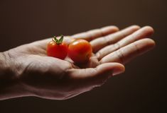 Tomates del bebé en una palma de la mano de una mujer Imágenes de archivo libres de regalías