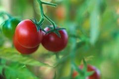 Tomates del cóctel Foto de archivo libre de regalías
