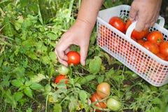 Tomates del campo de la cosecha de la mano Imagenes de archivo