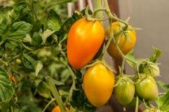 Tomates del guarda-brisa en una rama Foto de archivo libre de regalías