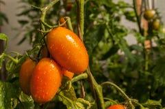 Tomates del guarda-brisa en una rama Imagenes de archivo