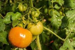 Tomates del guarda-brisa en una rama Fotografía de archivo