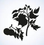 Tomates Desenho do vetor Foto de Stock Royalty Free