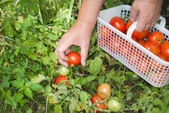 Tomates do campo da colheita da mão Imagens de Stock