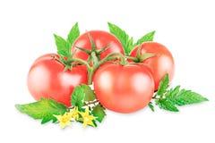 Tomates do grupo em um ramo com folhas em um fundo branco imagem de stock