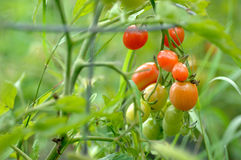 Tomates do jardim Fotos de Stock Royalty Free