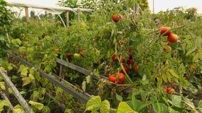 Tomates do jardim que amadurecem na videira filme