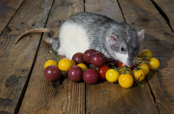 Tomates do rato e de cereja Foto de Stock