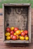 Tomates du cru fraîches de jardin dans une caisse en bois images libres de droits