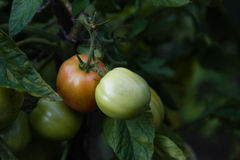 Tomates du cru saines Photographie stock libre de droits