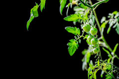 Tomates e folhas verdes de cereja Fotografia de Stock Royalty Free