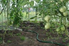 Tomates e mangueira da hidroponia Imagem de Stock Royalty Free