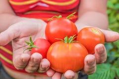 Tomates em linha reta do jardim Imagem de Stock Royalty Free