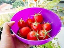 Tomates em uma bacia Foto de Stock Royalty Free