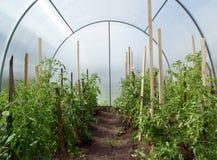 Tomates em uma estufa Fotos de Stock Royalty Free