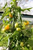 Tomates em uma estufa Imagem de Stock