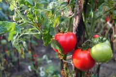 Tomates en automne Photos libres de droits
