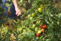 Tomates en el arbusto Fotografía de archivo