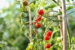 Tomates en el invernadero Imagenes de archivo