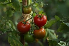 Tomates en el invernadero Fotos de archivo