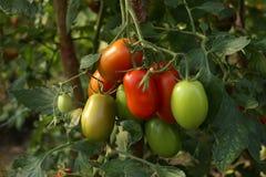 Tomates en el invernadero Foto de archivo libre de regalías