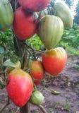 Tomates en el jardín Fotos de archivo