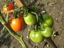 Tomates en el jardín imagen de archivo libre de regalías