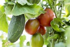 Tomates en el jardín, huerto con las plantas de tomates rojos, creciendo en un jardín Tomates rojos que crecen en una rama Imagen de archivo libre de regalías