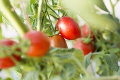 Tomates en el jardín, huerto con las plantas de tomates rojos, creciendo en un jardín Tomates rojos que crecen en una rama Foto de archivo