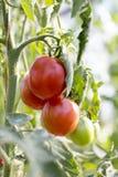 Tomates en el jardín, huerto con las plantas de tomates rojos, creciendo en un jardín Tomates rojos que crecen en una rama Fotos de archivo libres de regalías